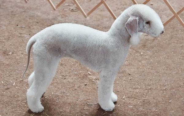 Бедлингтон-терьер-собака-Описание-особенности-виды-уход-и-цена-бедлингтон-терьера-10