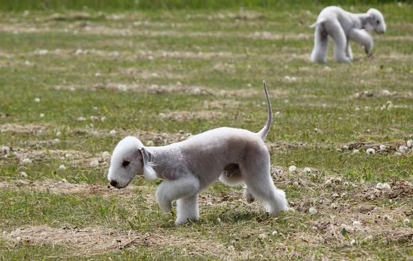 Бедлингтон-терьер-собака-Описание-особенности-виды-уход-и-цена-бедлингтон-терьера-11