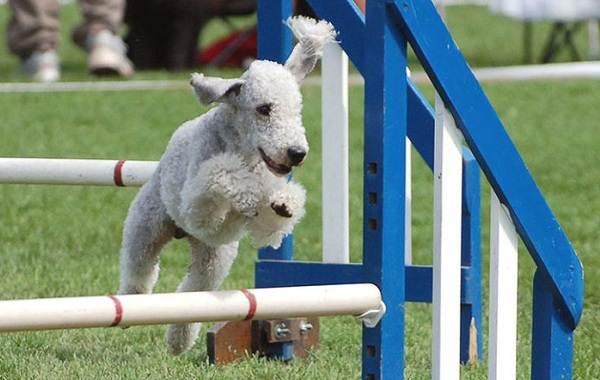 Бедлингтон-терьер-собака-Описание-особенности-виды-уход-и-цена-бедлингтон-терьера-12