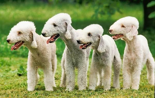 Бедлингтон-терьер-собака-Описание-особенности-виды-уход-и-цена-бедлингтон-терьера-13