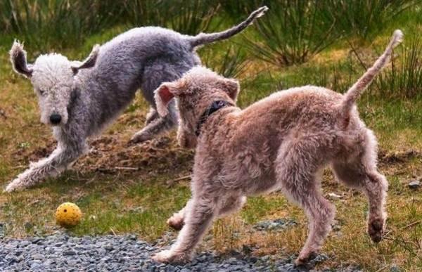 Бедлингтон-терьер-собака-Описание-особенности-виды-уход-и-цена-бедлингтон-терьера-15