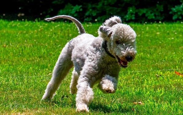 Бедлингтон-терьер-собака-Описание-особенности-виды-уход-и-цена-бедлингтон-терьера-16