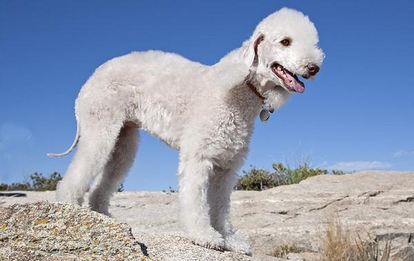 Бедлингтон-терьер-собака-Описание-особенности-виды-уход-и-цена-бедлингтон-терьера-17