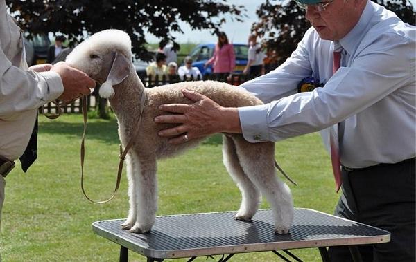 Бедлингтон-терьер-собака-Описание-особенности-виды-уход-и-цена-бедлингтон-терьера-18