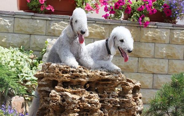 Бедлингтон-терьер-собака-Описание-особенности-виды-уход-и-цена-бедлингтон-терьера-19
