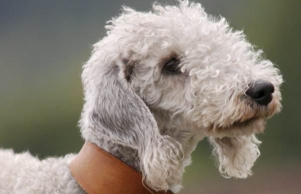 Бедлингтон-терьер-собака-Описание-особенности-виды-уход-и-цена-бедлингтон-терьера-3