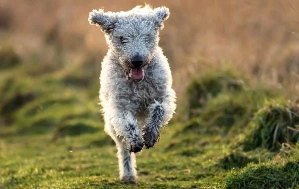 Бедлингтон-терьер-собака-Описание-особенности-виды-уход-и-цена-бедлингтон-терьера-4
