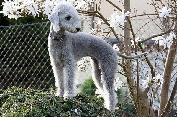 Бедлингтон-терьер-собака-Описание-особенности-виды-уход-и-цена-бедлингтон-терьера-5