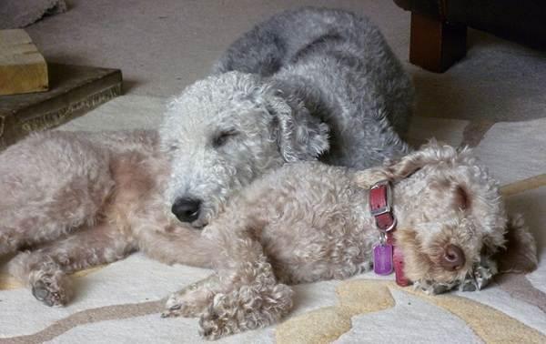 Бедлингтон-терьер-собака-Описание-особенности-виды-уход-и-цена-бедлингтон-терьера-7