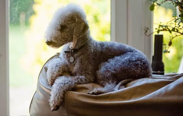 Бедлингтон-терьер-собака-Описание-особенности-виды-уход-и-цена-бедлингтон-терьера-8