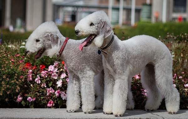 Бедлингтон-терьер-собака-Описание-особенности-виды-уход-и-цена-бедлингтон-терьера-9