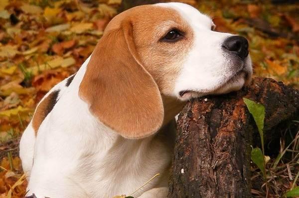 Бигль-собака-Описание-особенности-виды-цена-уход-и-содержание-породы-бигль-1