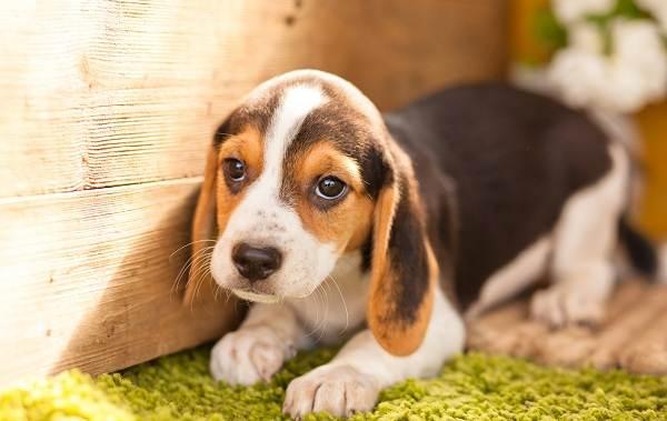 Бигль-собака-Описание-особенности-виды-цена-уход-и-содержание-породы-бигль-10
