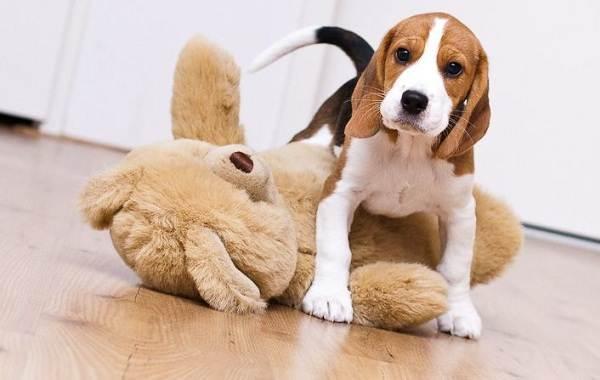Бигль-собака-Описание-особенности-виды-цена-уход-и-содержание-породы-бигль-12