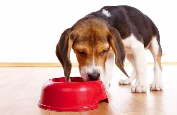 Бигль-собака-Описание-особенности-виды-цена-уход-и-содержание-породы-бигль-14