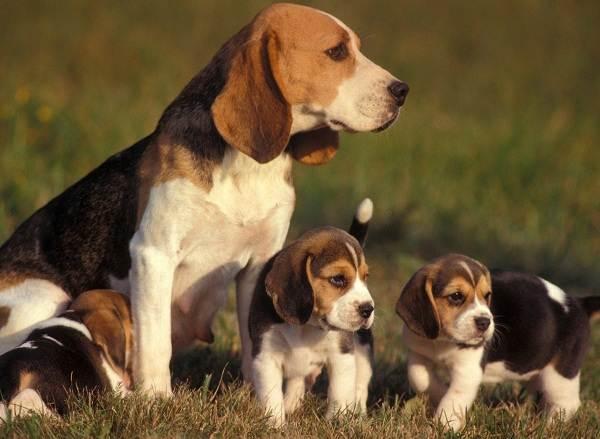 Бигль-собака-Описание-особенности-виды-цена-уход-и-содержание-породы-бигль-15