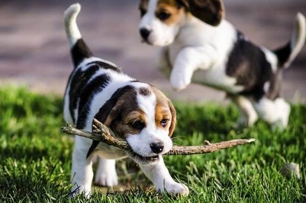 Бигль-собака-Описание-особенности-виды-цена-уход-и-содержание-породы-бигль-16