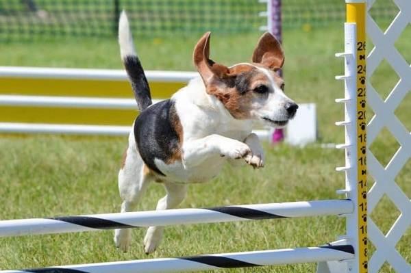 Бигль-собака-Описание-особенности-виды-цена-уход-и-содержание-породы-бигль-18
