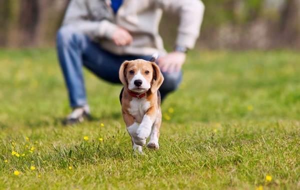 Бигль-собака-Описание-особенности-виды-цена-уход-и-содержание-породы-бигль-19