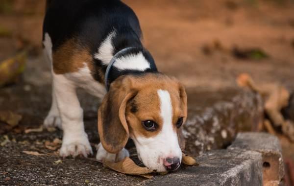 Бигль-собака-Описание-особенности-виды-цена-уход-и-содержание-породы-бигль-2