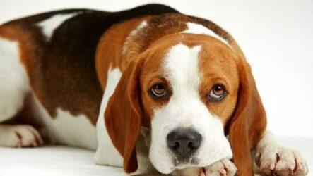 Бигль собака. Описание, особенности, виды, цена, уход и содержание породы бигль