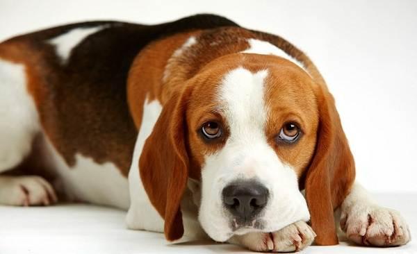 Бигль-собака-Описание-особенности-виды-цена-уход-и-содержание-породы-бигль-20