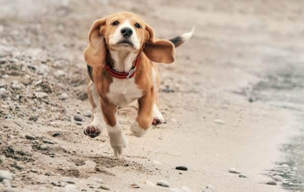 Бигль-собака-Описание-особенности-виды-цена-уход-и-содержание-породы-бигль-3