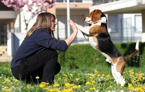 Бигль-собака-Описание-особенности-виды-цена-уход-и-содержание-породы-бигль-4