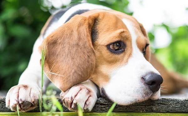 Бигль-собака-Описание-особенности-виды-цена-уход-и-содержание-породы-бигль-6