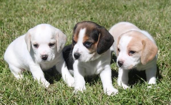 Бигль-собака-Описание-особенности-виды-цена-уход-и-содержание-породы-бигль-7