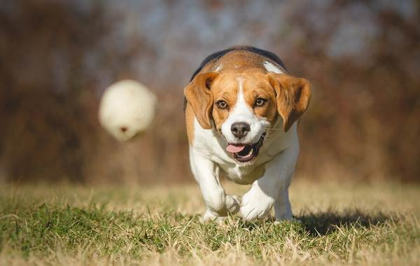 Бигль-собака-Описание-особенности-виды-цена-уход-и-содержание-породы-бигль-9