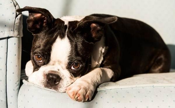 Бостон-терьер-собака-Описание-особенности-виды-цена-и-уход-за-породой-10