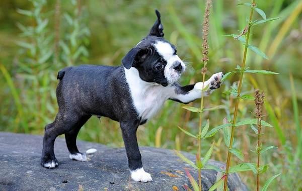 Бостон-терьер-собака-Описание-особенности-виды-цена-и-уход-за-породой-12