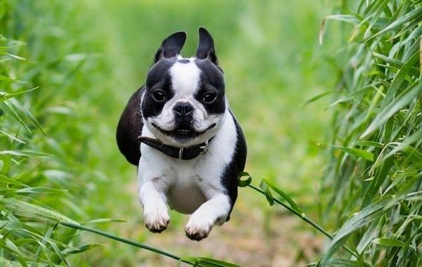 Бостон-терьер-собака-Описание-особенности-виды-цена-и-уход-за-породой-13