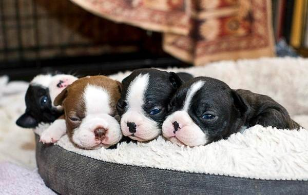 Бостон-терьер-собака-Описание-особенности-виды-цена-и-уход-за-породой-14