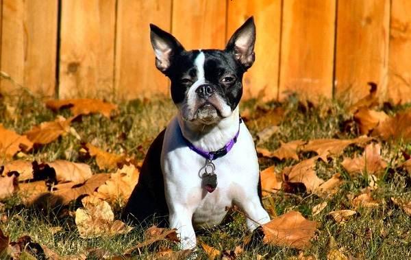 Бостон-терьер-собака-Описание-особенности-виды-цена-и-уход-за-породой-15