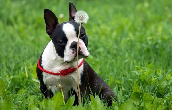 Бостон-терьер-собака-Описание-особенности-виды-цена-и-уход-за-породой-3
