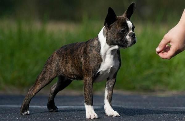 Бостон-терьер-собака-Описание-особенности-виды-цена-и-уход-за-породой-8