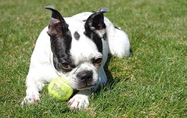 Бостон-терьер-собака-Описание-особенности-виды-цена-и-уход-за-породой-9