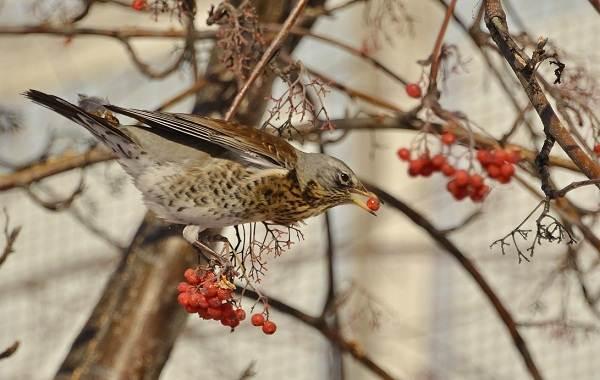 Дрозд-рябинник-птица-Описание-особенности-образ-жизни-и-среда-обитания-рябинника-1