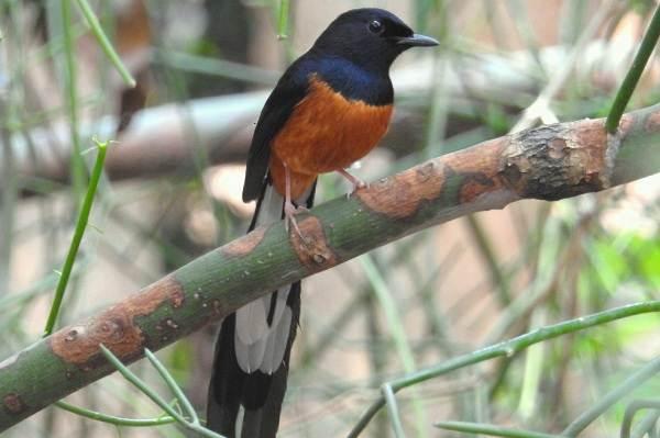 Дрозд-рябинник-птица-Описание-особенности-образ-жизни-и-среда-обитания-рябинника-11