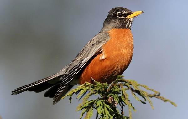 Дрозд-рябинник-птица-Описание-особенности-образ-жизни-и-среда-обитания-рябинника-13