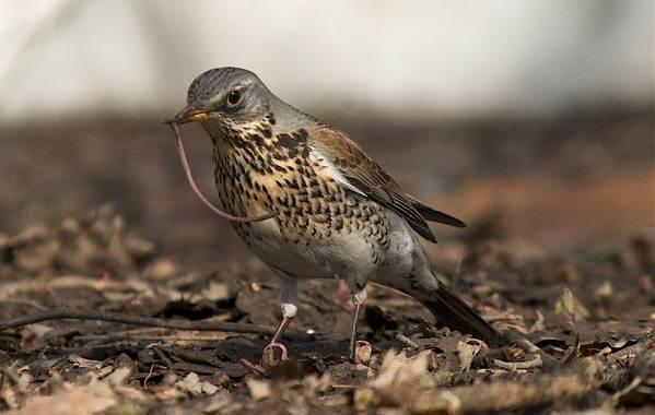 Дрозд-рябинник-птица-Описание-особенности-образ-жизни-и-среда-обитания-рябинника-14