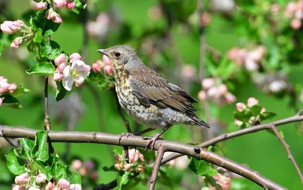 Дрозд-рябинник-птица-Описание-особенности-образ-жизни-и-среда-обитания-рябинника-15