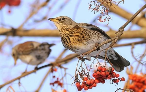 Дрозд-рябинник-птица-Описание-особенности-образ-жизни-и-среда-обитания-рябинника-16