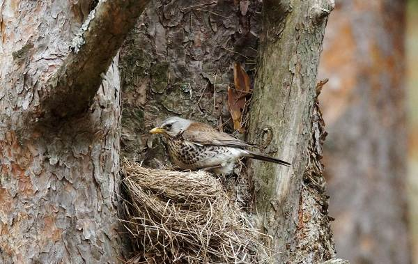 Дрозд-рябинник-птица-Описание-особенности-образ-жизни-и-среда-обитания-рябинника-18