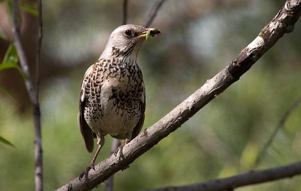 Дрозд-рябинник-птица-Описание-особенности-образ-жизни-и-среда-обитания-рябинника-21