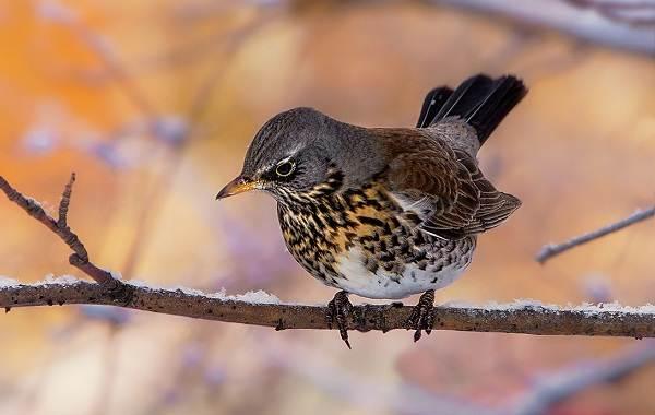 Дрозд-рябинник-птица-Описание-особенности-образ-жизни-и-среда-обитания-рябинника-3