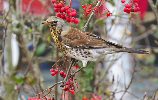 Дрозд-рябинник-птица-Описание-особенности-образ-жизни-и-среда-обитания-рябинника-4