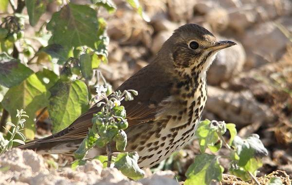 Дрозд-рябинник-птица-Описание-особенности-образ-жизни-и-среда-обитания-рябинника-5